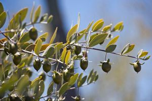 Forrás: Wikimedia Commons, Seeds on a Female Jojoba Bush by Kenneth Bosma