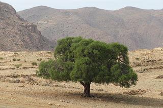 Forrás: Wikimedia Commons, Argan tree, Tighrassen,Tarsouat,Amanouz,Tafraout by Fabenox